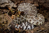Rattlesnake coiled to strike. — Stock Photo