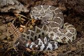 Rattlesnake coiled to strike. — Stock Photo