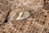 Rattlesnake. — Stock Photo