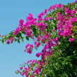 Royalty-Free Stock Photo: Pink blooming bougainvilleas against the blue sky