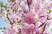 Beautiful pink flowers Almonds trilobate (Louiseania triloba blo — Stock Photo