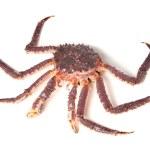 Raw kamchatka crab isolated on white background — Stock Photo #14851147
