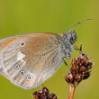 Coenonympha glycerion — Stock Photo