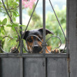 The cute little dog behind the old fence — Stock Photo