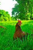 Hen in the grass — Stock Photo