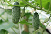 Cucumbers On The Vine — Stock Photo