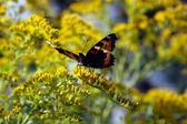 Borboleta com flores amarelas — Fotografia Stock