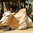 Cow in rural village, Myanmar — Stock Photo