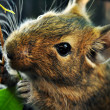 Foto de Stock  : Degu squirrel