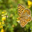 Butterfly in the field — Stock Photo #27963861