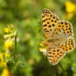 Butterfly in the field — Stock Photo
