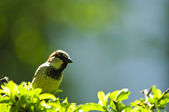 Sparrow standing on branch — Stock Photo