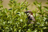 Sparrow standing in bush — Stock Photo