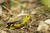 Cricket insect — Stockfoto