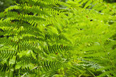 Fern in the mountain — Stock Photo