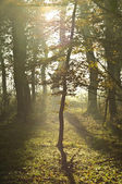 Sun shining through forest leaves — Stock Photo