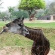 Giraffe shows language — Stok Fotoğraf #12625708