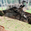 Stock Photo: Giraffe eats