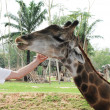 She stroked the giraffe — Foto de Stock