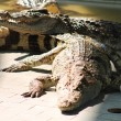 Crocodiles bask in sun — Stock Photo #12647235