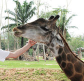 She stroked the giraffe — Stock Photo
