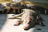 Crocodiles bask in the sun — Stock Photo