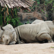 Rhinos have a rest — Stock Photo