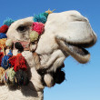 White camel — Stock Photo