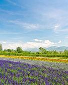 Biei and Furano flower fields, Hokkaido, Japan — Stock Photo
