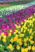 Colorful tulip fields — Stock Photo