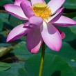 Stock Photo: Beautiful pink lotuses close up on lake