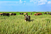 The cow on a green meadow eats a grass — 图库照片