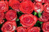 Красный мокрый розы с капельками воды — Стоковое фото