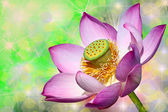 Pink lotuses — Stock Photo