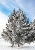 大雪覆盖的松 — 图库照片