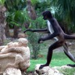 Spider monkey — Stock Photo #13382649