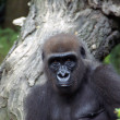 Western lowland female gorilla — Stock Photo