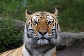 """Siberian """"Amur"""" tiger — Stock Photo"""