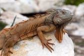 Iguana in Cancun, Mexico — Stock Photo
