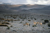Vicunas in the Chimborazo privince, Ecuador — Stock Photo