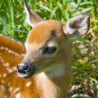 Stock Photo: Wild Whitetail Deer deer in Minnesota