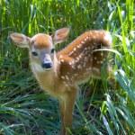Baby Deer — Stock Photo #12435799