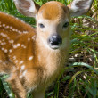 Baby Deer — Stock Photo