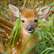 Wild Deer Fawn — Stock Photo