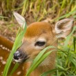 Deer Fawn — Stock Photo #12436096