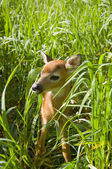 Whitetail Deer Fawn — Stock Photo