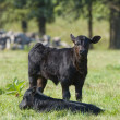 Stock Photo: Beef Cattle Calves