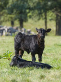Beef Cattle Calves — Stock Photo
