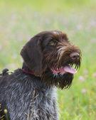 Drahthaar Hunting Dog — Stock Photo