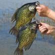 black crappies — Stock Photo